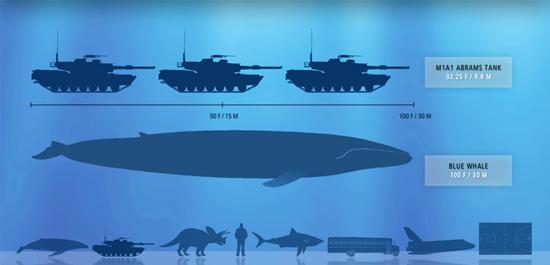 Compara la longitud y el peso de una ballena azul con objetos reales ...